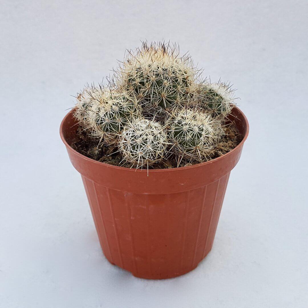 turbinicarpus horripilus vaso 12 57c-2
