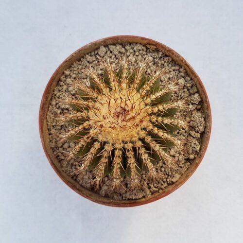Uebelmannia pectinifera 54C