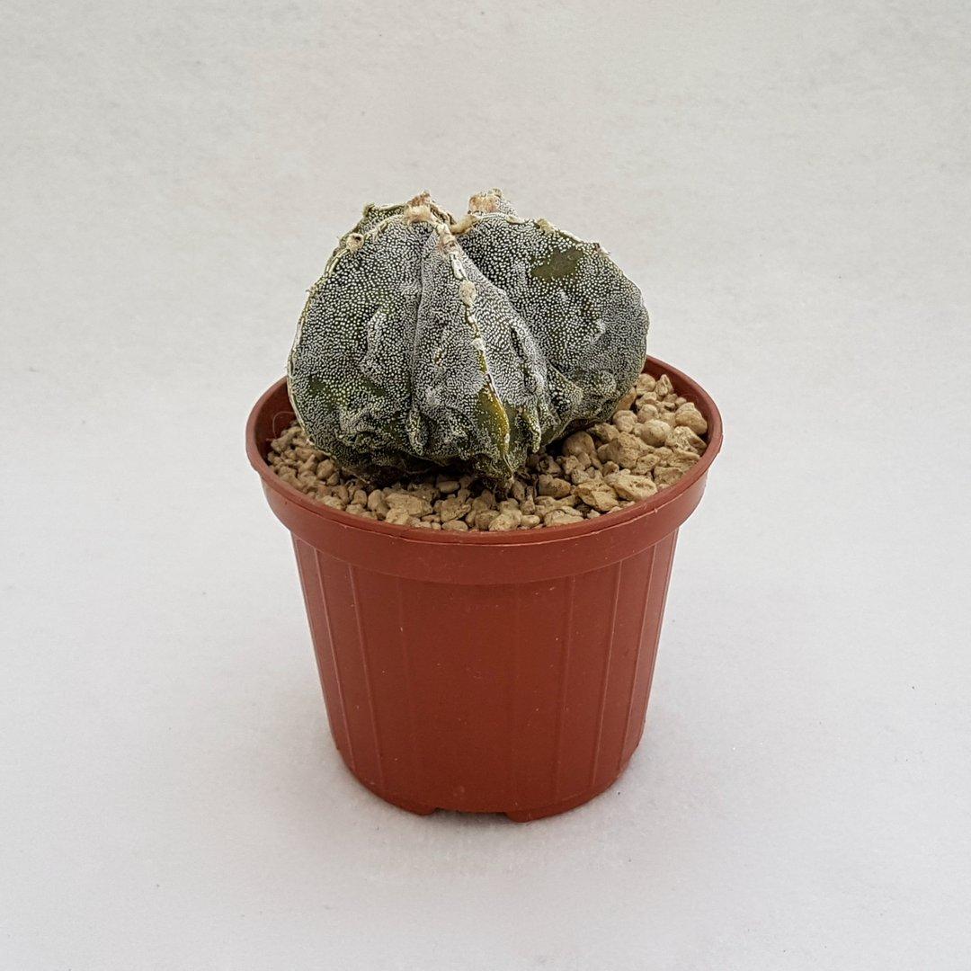 Astrophytum myriostigma fukuryu 59B