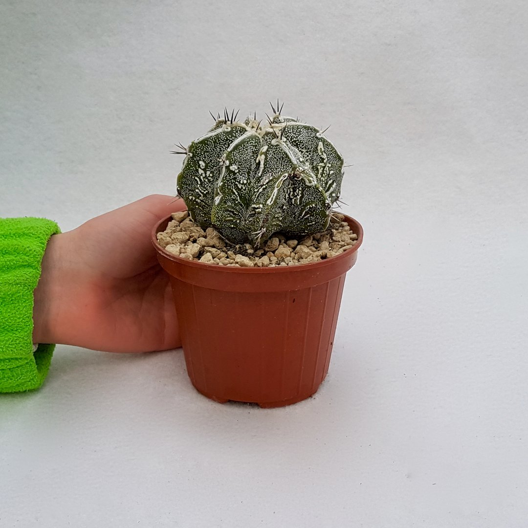 Astrophytum ornatum hannya hybrid 57B