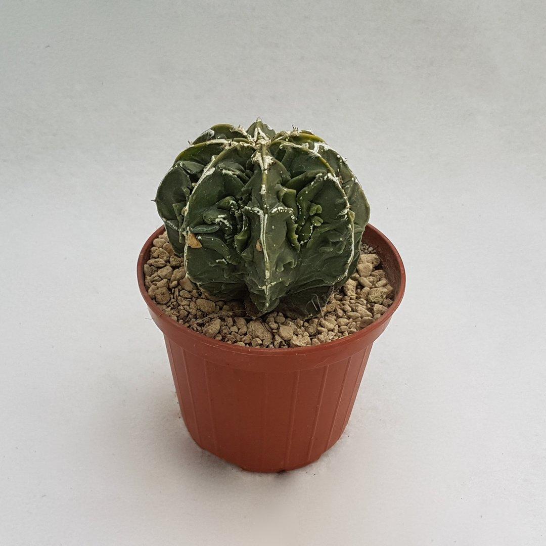 Astrophytum myriostigma fukuryu nudum 50B