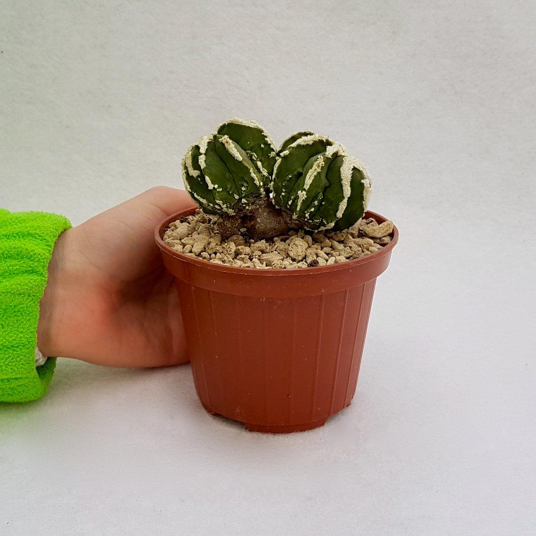 Astrophytum ornatum hannya hybrid 61B