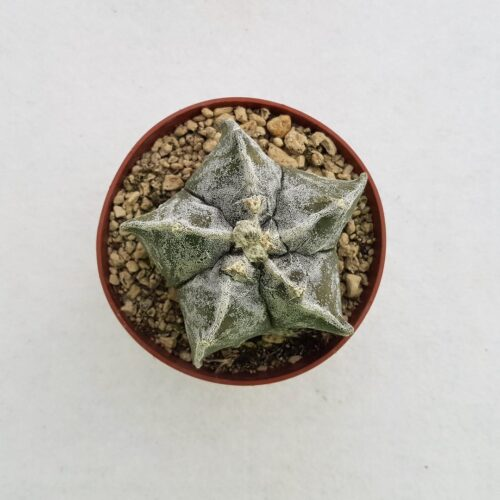 Astrophytum myriostigma kikko fukuryu 51B