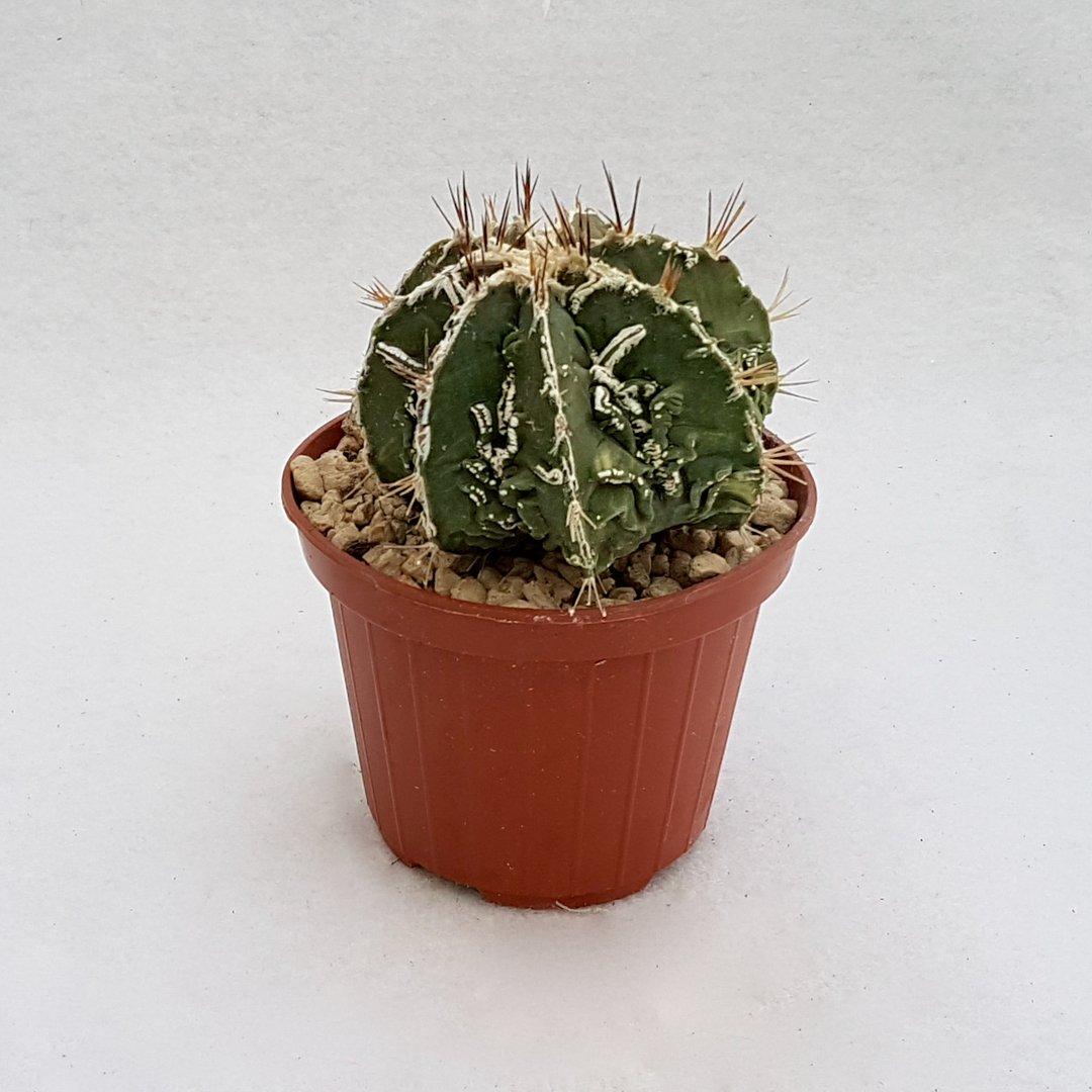 Astrophytum ornatum hannya hybrid 53B