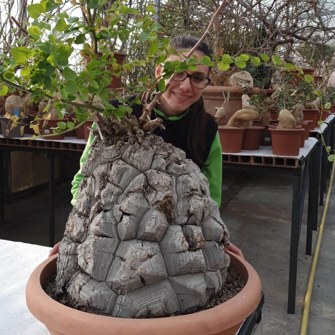 Dioscorea elephantipes caudex 60