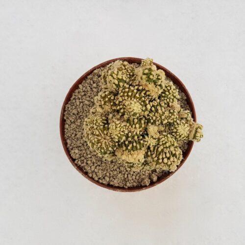 Echinocactus grusonii mostruoso 02D