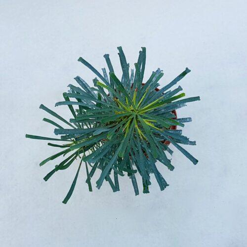 Euphorbia multifolia 16D
