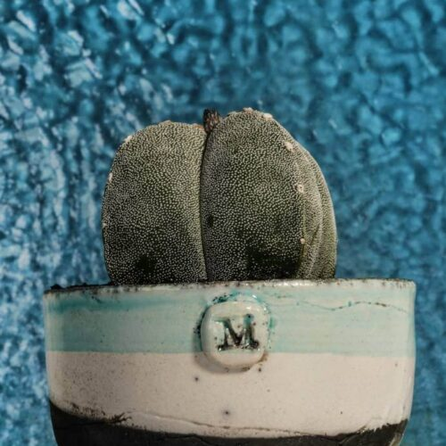 Astrophytum myriostigma quadricostatum vaso Raku