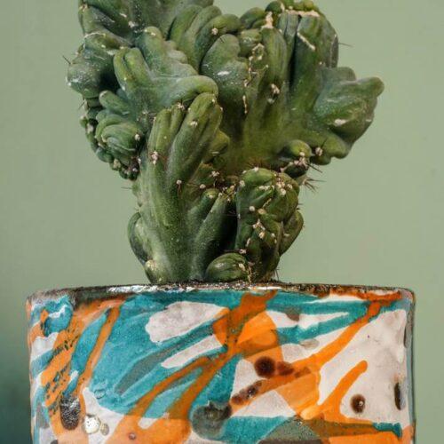 Cereus peruvianua mostruoso crestato vasp Raku