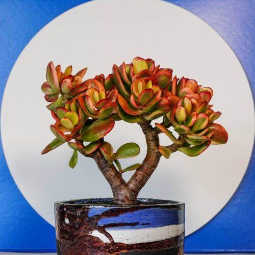 Crassula portulacea tricolor vaso Raku