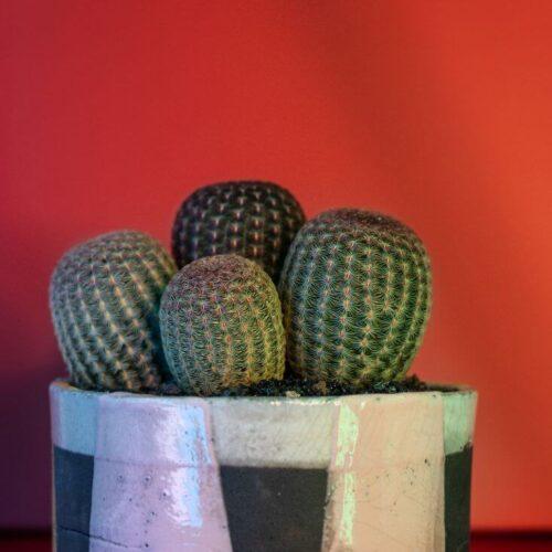 Echinocereus rigidissimus rubrispinus vaso Raku