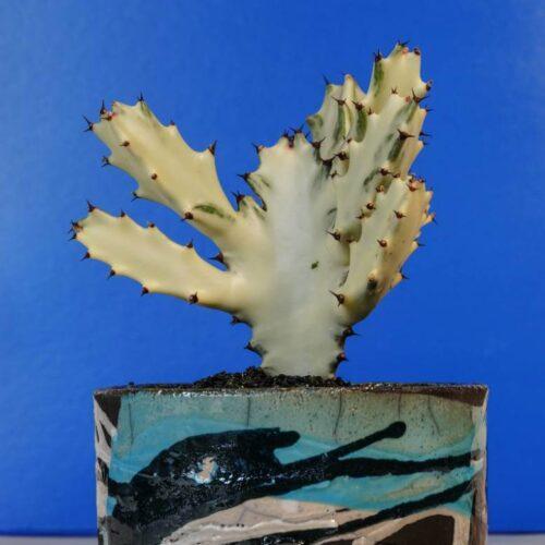 Euphorbia lactea ghost vaso Raku
