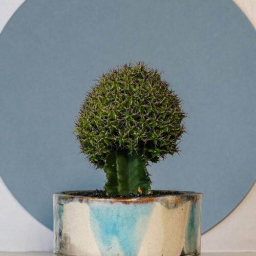 Euphorbia mitriformis vaso Raku