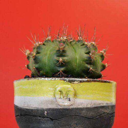 Gymnocalycium pungens vaso Raku
