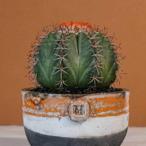 Melocactus matanzanus vaso Raku