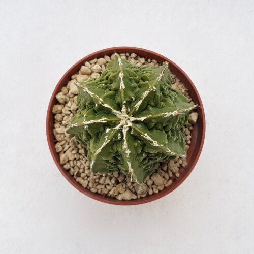 Astrophytum fukuryu 108B