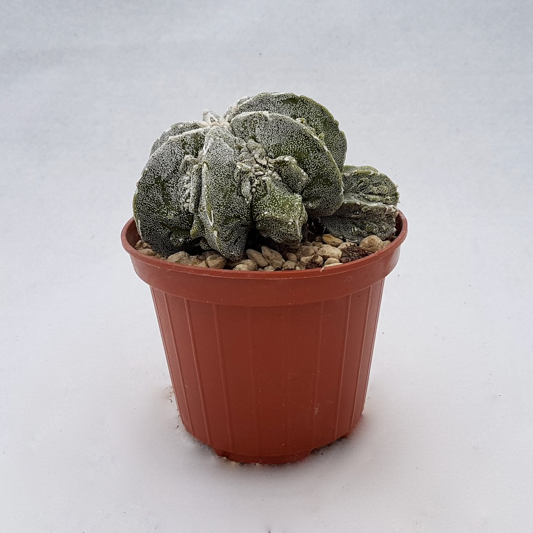 Astrophytum fukuryu 110B