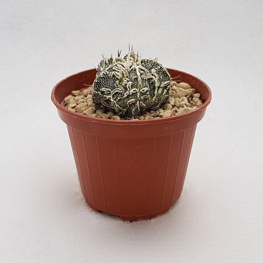 Astrophytum fukuryu haku jo 104B