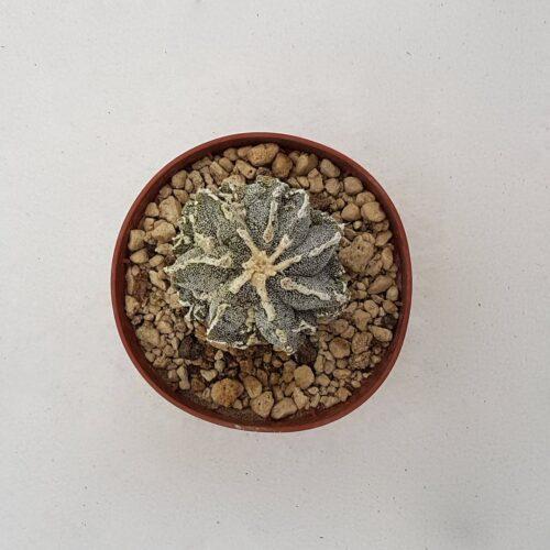 Astrophytum fukuryu haku jo 68B