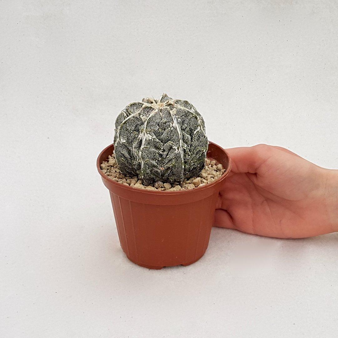 Astrophytum fukuryu haku jo 71B