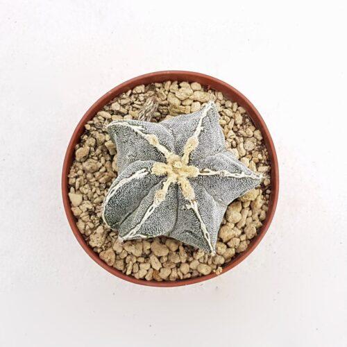 Astrophytum fukuryu haku jo 79B