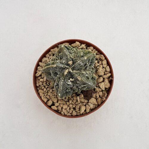 Astrophytum myriostigma fukuryu 66B