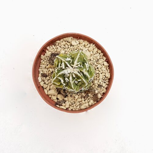 Astrophytum myriostigma hanakago mostruoso 84B