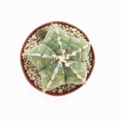 Astrophytum myriostigma kikko 78B