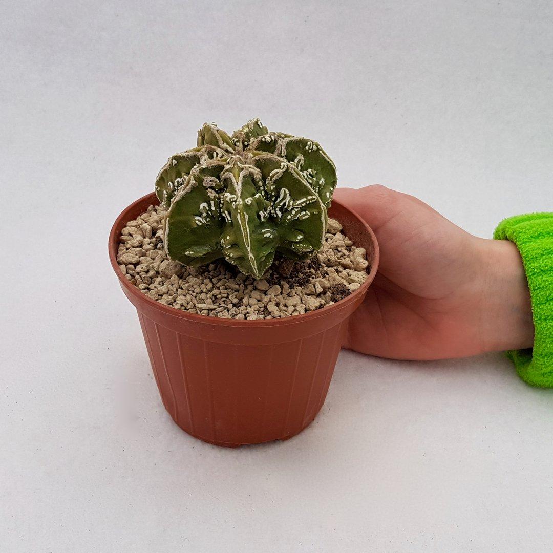 Astrophytum ornatum hannya hybrid 103B