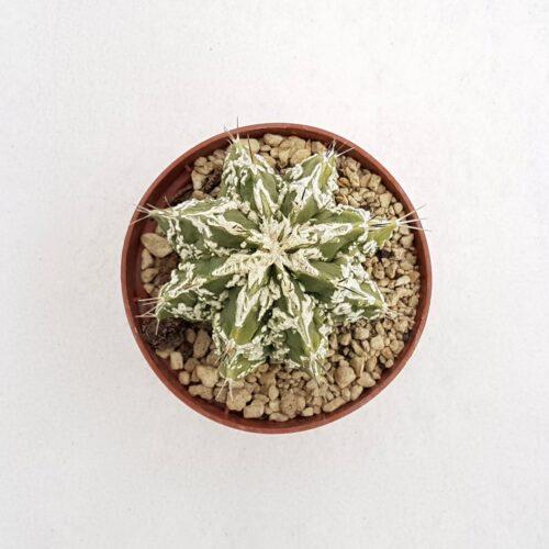Astrophytum ornatum hannya hybrid 72B