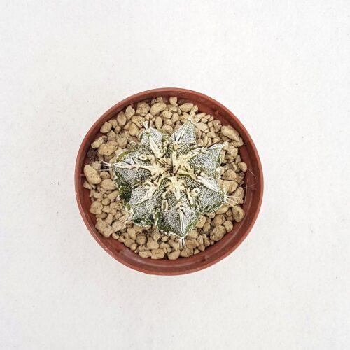 Astrophytum ornatum hannya hybrid 74B
