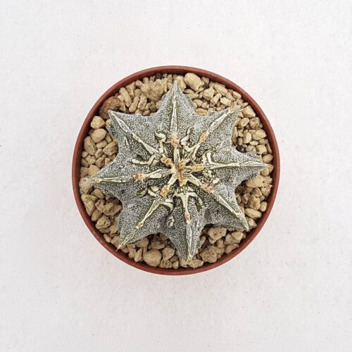 Astrophytum ornatum hannya hybrid 81B