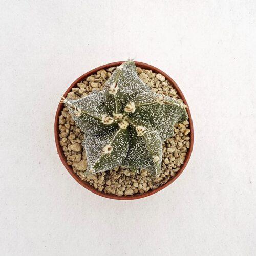 Astrophytum ornatum hybrid 69B