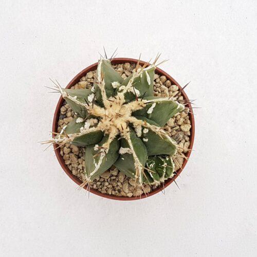 Astrophytum ornatum hybrid 85B