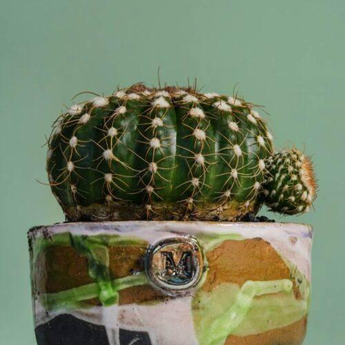 Notocactus uebelmannianus vaso Terra