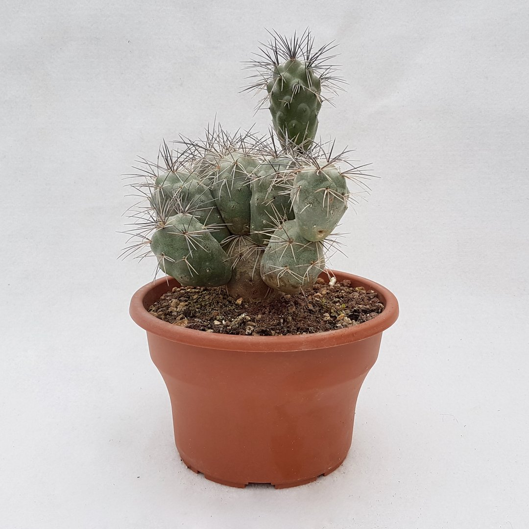 Tephrocactus alexanderi kff1245 48D
