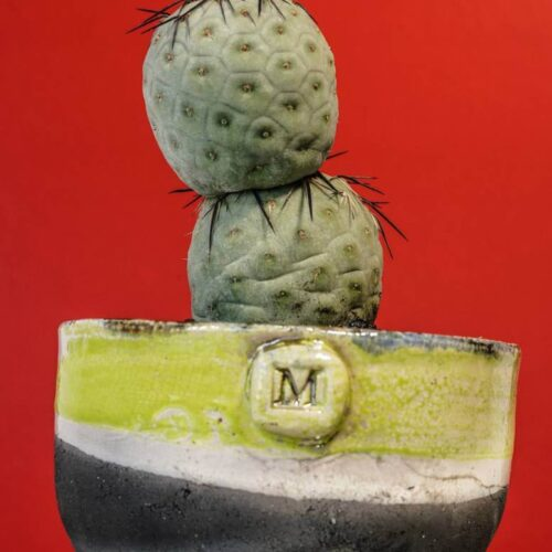 Tephrocactus geometricus vaso Fuoco
