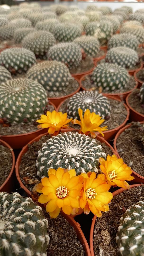 Rebutia arenacea