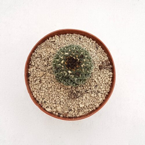 Ariocarpus kotschoubeyanus 29D