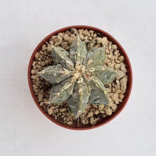 Astrophytum fukuryu haku jo 102B