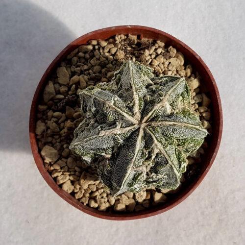 Astrophytum fukuryu haku jo n° 134B