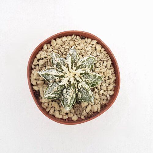 Astrophytum fukuryu haku jo 91B