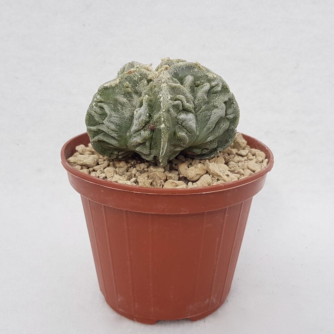 Astrophytum myriostigma fukuryu 112B
