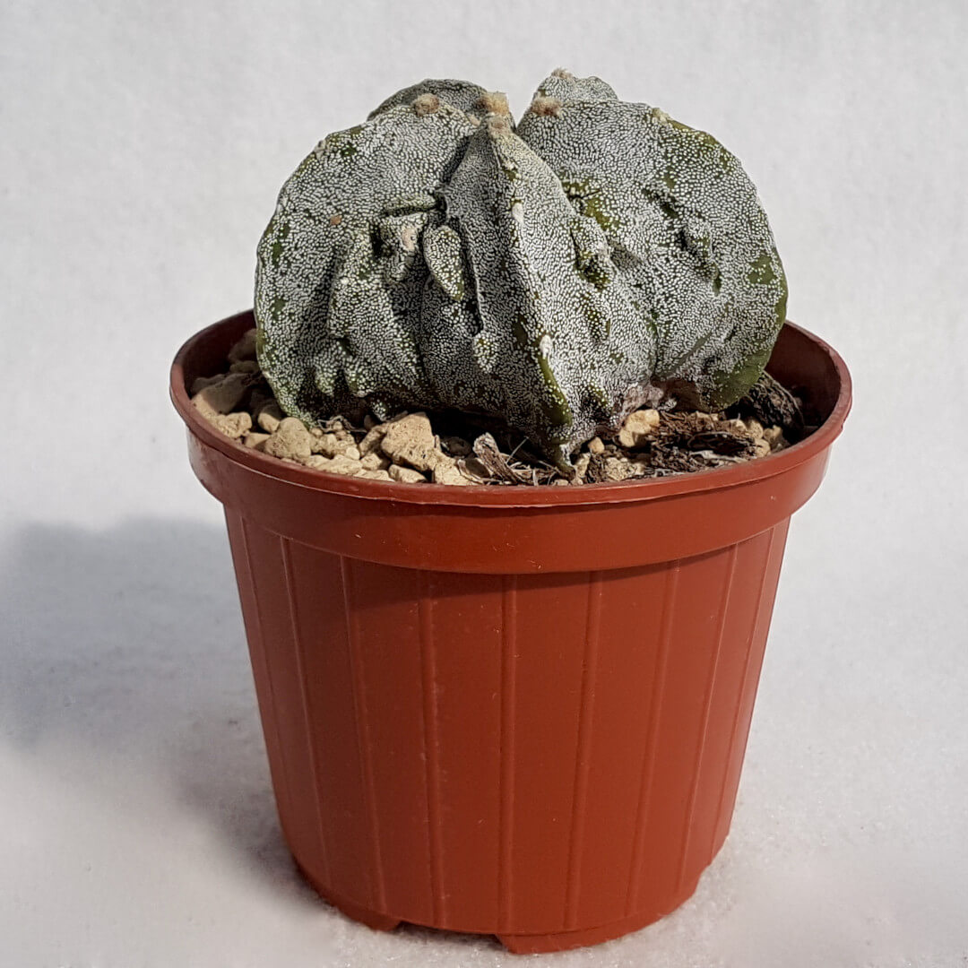 Astrophytum myriostigma fukuryu n° 127B