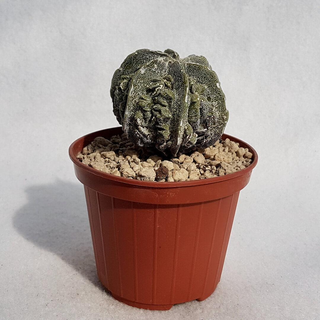 Astrophytum myriostigma fukuryu n° 139B