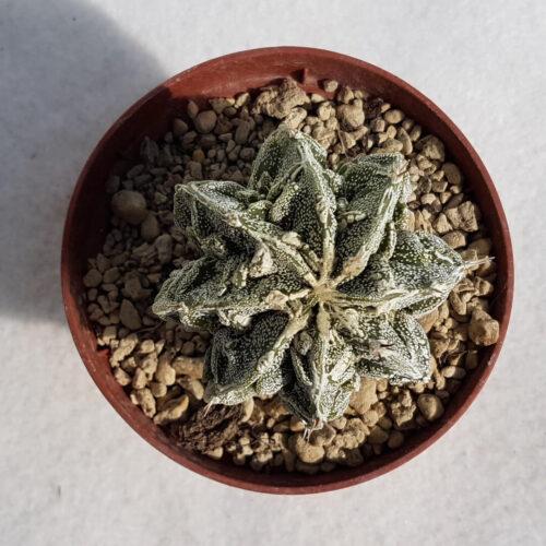 Astrophytum myriostigma fukuryu n° 140B