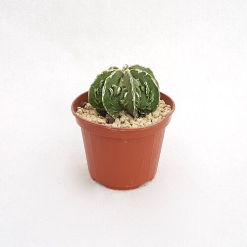 Astrophytum myriostigma fukuryu 94B