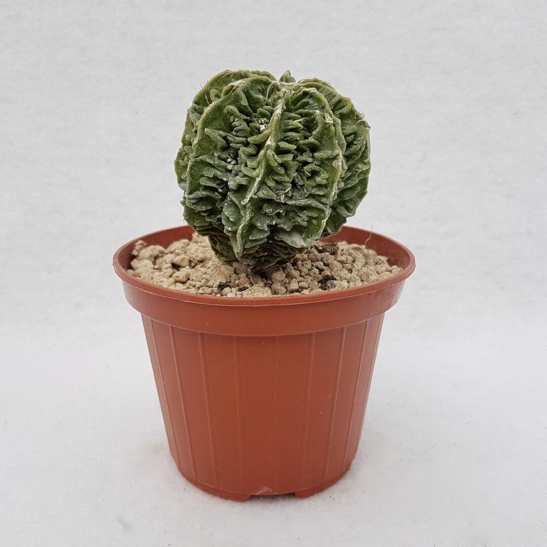 Astrophytum myriostigma hanakago n° 116B