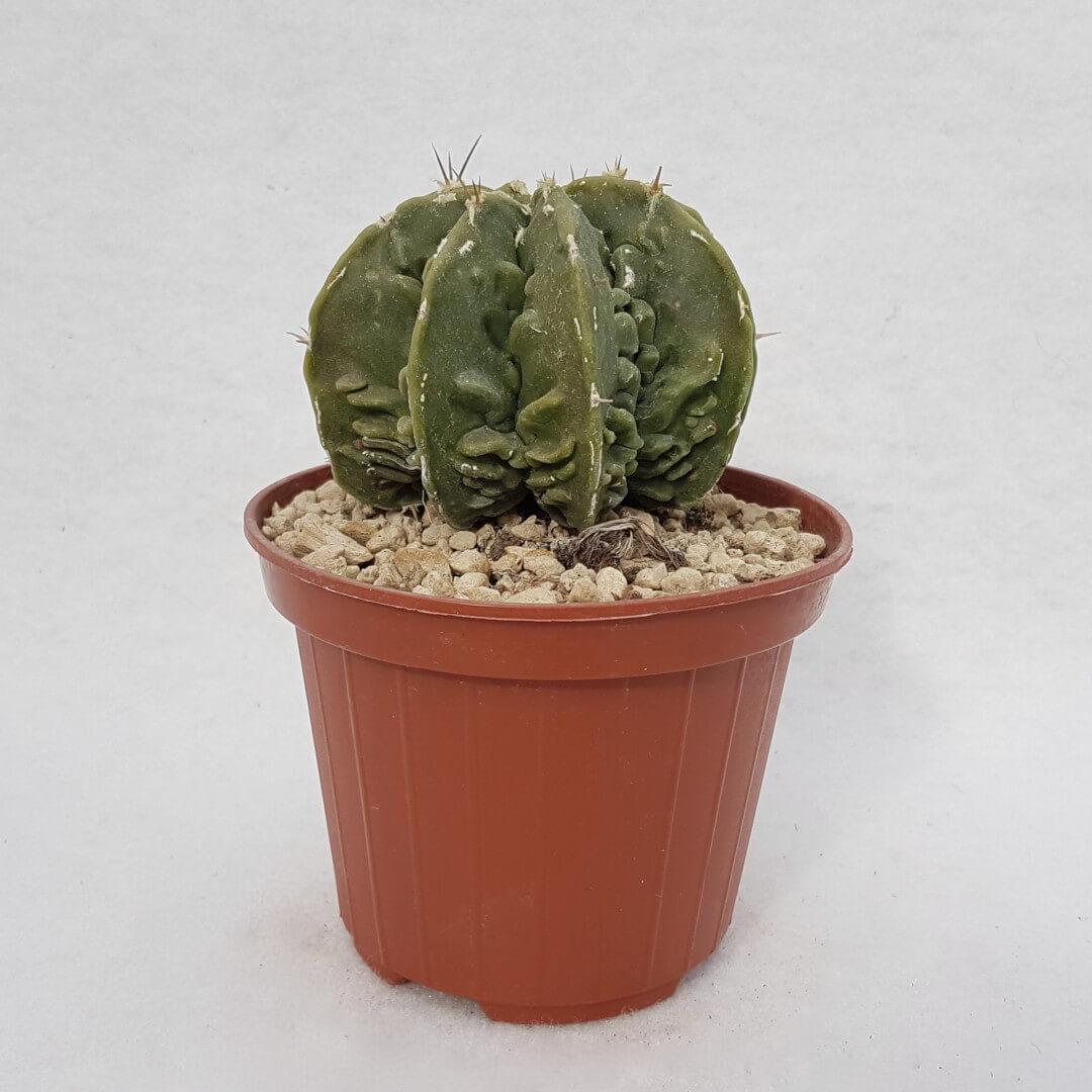 Astrophytum myriostigma ornatum 114B