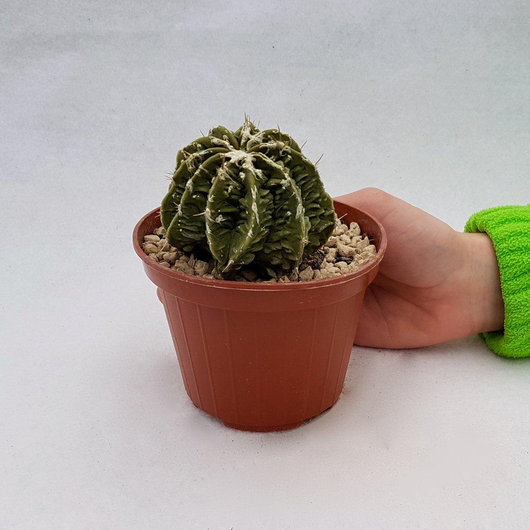 Astrophytum ornatum hannya hybrid 101B